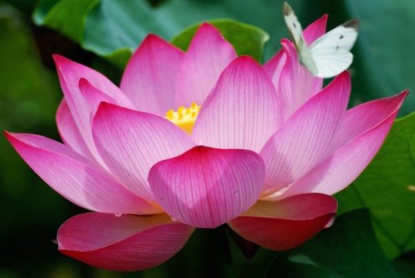 công dụng của hoa sen trong làm đẹp, hoa sen trong làm đẹp, hoa sen làm đẹp, hoa sen