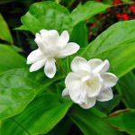 Thực hư về tác dụng của hoa nhài trong làm đẹp