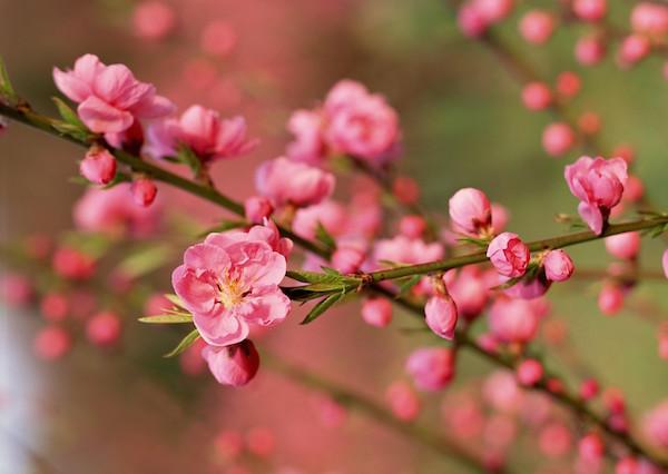 làm đẹp da mặt bằng hoa đào, làm đẹp da với hoa đào, hoa đào